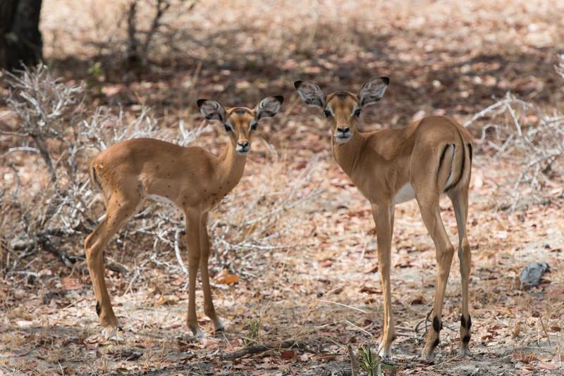 Impala and Baby