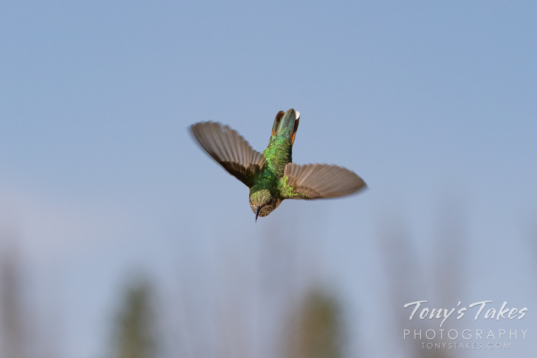 Hummingbird takes a dive. Canon R5, Canon EF 100-400mm f/4.5-5.6L IS II USM @ 200mm, 1/3200, f/8, ISO 640.