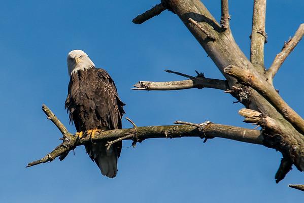 NH Bold Eagle