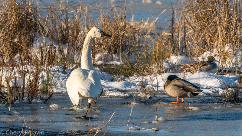 Tundra Swan on One Leg
