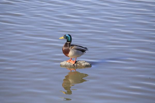 Las Gallinas Ponds February Birds
