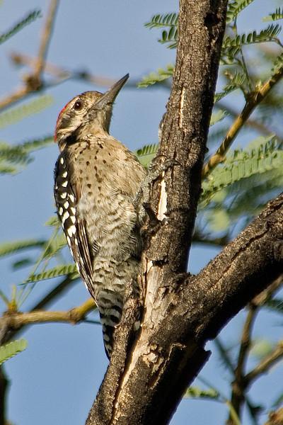 Woodpecker - Ladder- backed - Buenos Aires NWR - AZ