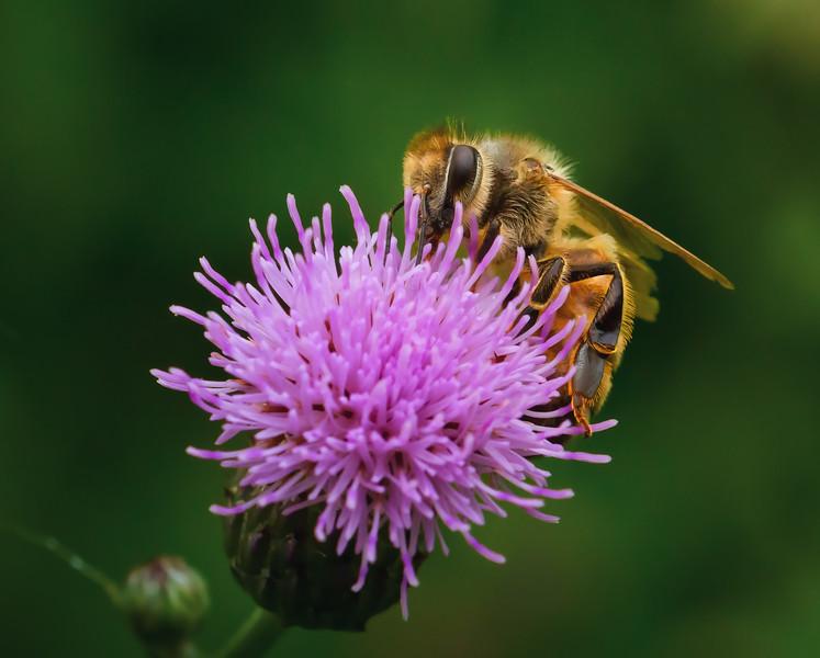Honeybee on Thistle