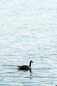 Goose, Lake Petit, Big Canoe.