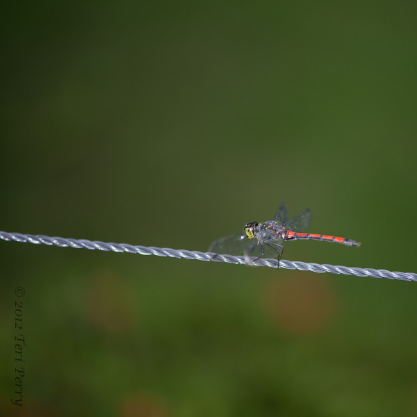 INSECTS - dragonflies-0311.jpg