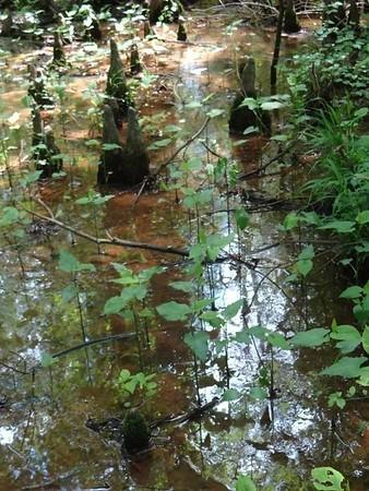 Cypress Swamp, MS - May
