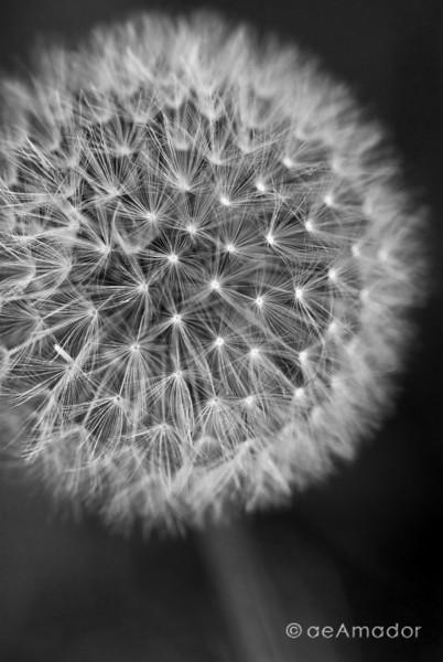 """""""The Dandelion"""" _DSC0020aeamador©-MDSC"""