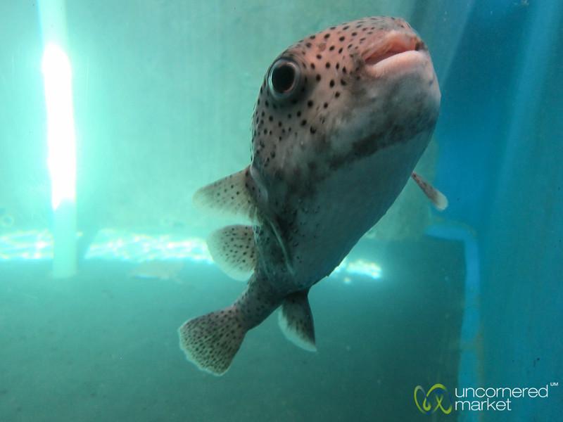 Blowfish at Mexican Turtle Center, Mazunte
