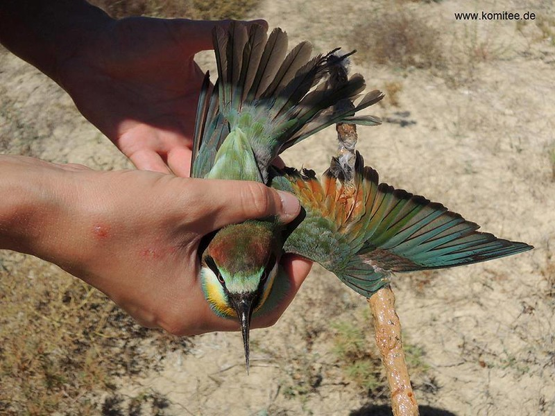 Thanks to our CABS team in Cyprus, this Bee-eater had a lucky escape and was able to continue its journey back to Africa. The bird was discovered glued to a limestick in Sotira, South-eastern Cyprus. A further 40 limesticks were also found in the surrounding vegetation. After cleaning its feathers our team released the bird unharmed (although probably a little shocked!). Our autumn bird protection has been running for 9 days – so far we have collected 940 limesticks, 39 large mist nets and ensured 7 poachers were arrested.