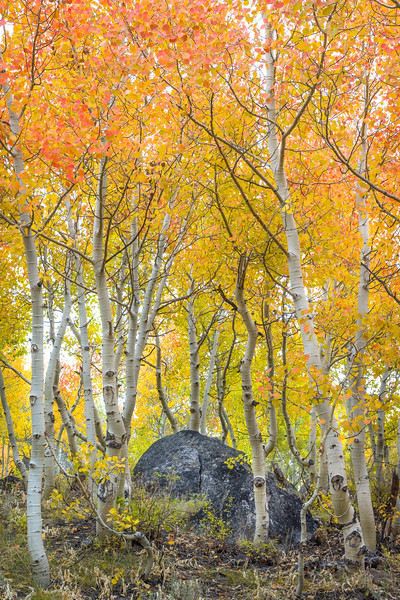 Aspens surround the altar of fall color.