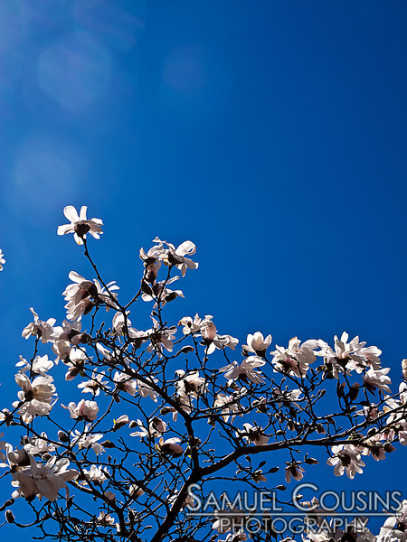 Flowers blooming on a magnolia tree in Lobsterman Park in downtown Portland, Maine.