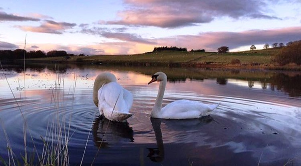 swans in lake at Stirling university grounds