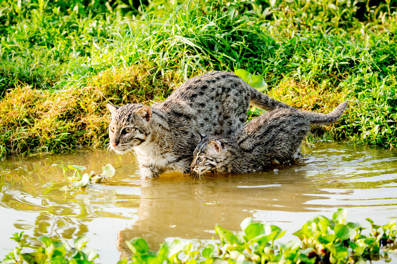 #BigCats starts 11th January on BBC One... If you think cat's don't like water - think again. These are fishing cats - a mother with her young kitten hunting in the wetlands of Bangladesh. These remarkable cats are suited to a life aquatic. Beneath a long outer coat they have a short layer of insulating fur that acts like a wetsuit. Their long whiskers help them to detect fish moving in the water and they have partially webbed feet to help scoop up prey. #EarthOnLocation #BBCEarth #BigCats #BBCOne #Filming #Cat #Fishing