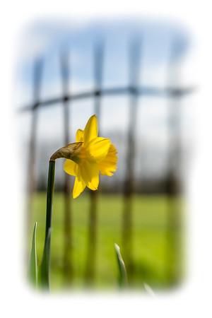 Solitary Daffodil