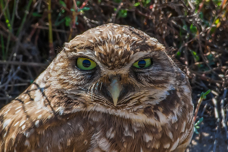 Burrowing Owl 1.jpg