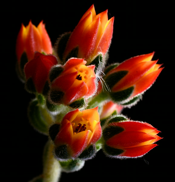 succulent flowers-5659.jpg