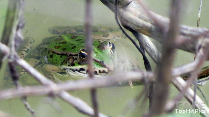 A Frog In A Pond In Monteroni D'Arbia, Italy