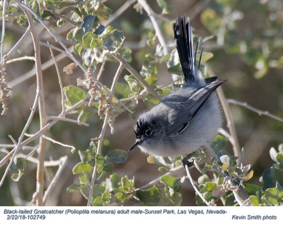 Black-tailed Gnatcatcher M102749.jpg