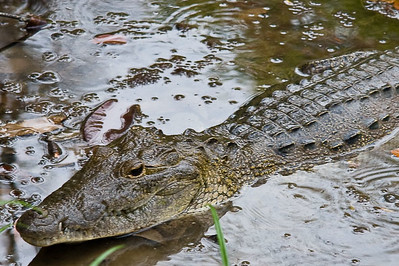 crocodile-or-alligator_4583554815_o.jpg