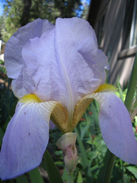 06_20_06 Lavender Iris