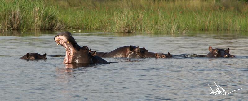 Hippos S-4.jpg