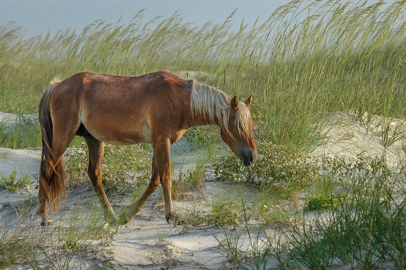 Wild Horse walking on Sand Dune CI