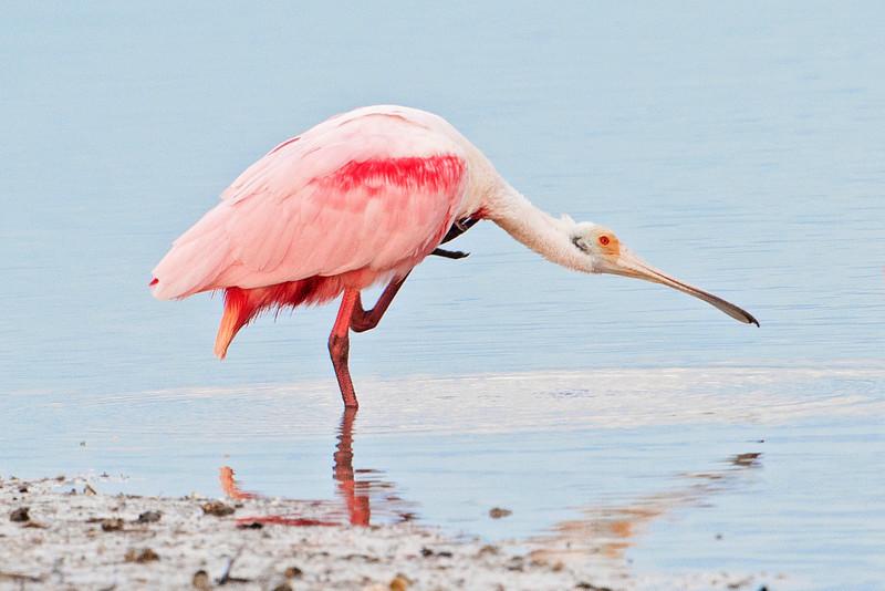 Spoonbill - Roseate - Ding Darling NWR - Sanibel Island, FL - 07