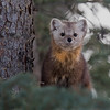 Pine marten from last weekend in Jasper.