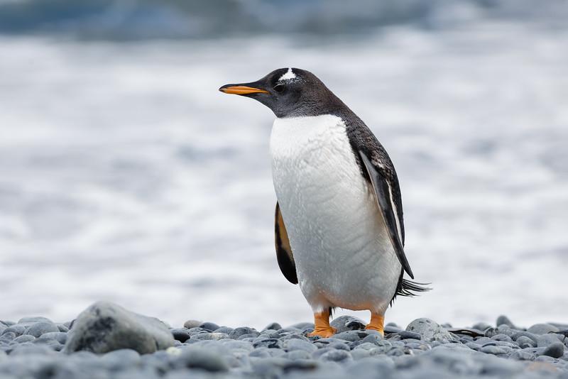 Gentoo Penguin (Pygoscelis p. papua)