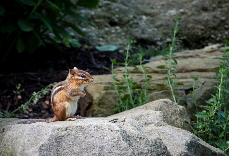 July 21.  CBG has lots of chipmunks, but they usually don't stay and pose.