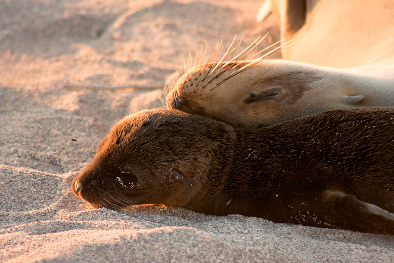 Journey into Baltra Island in the Galapagos Archipelago 39 Sleeping Sea Lion Pup