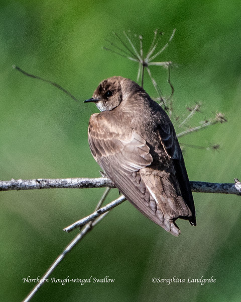 _DSC7814Rough-winged Swallow.jpg