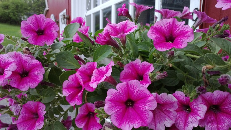 petunias in pink - photo by phone -