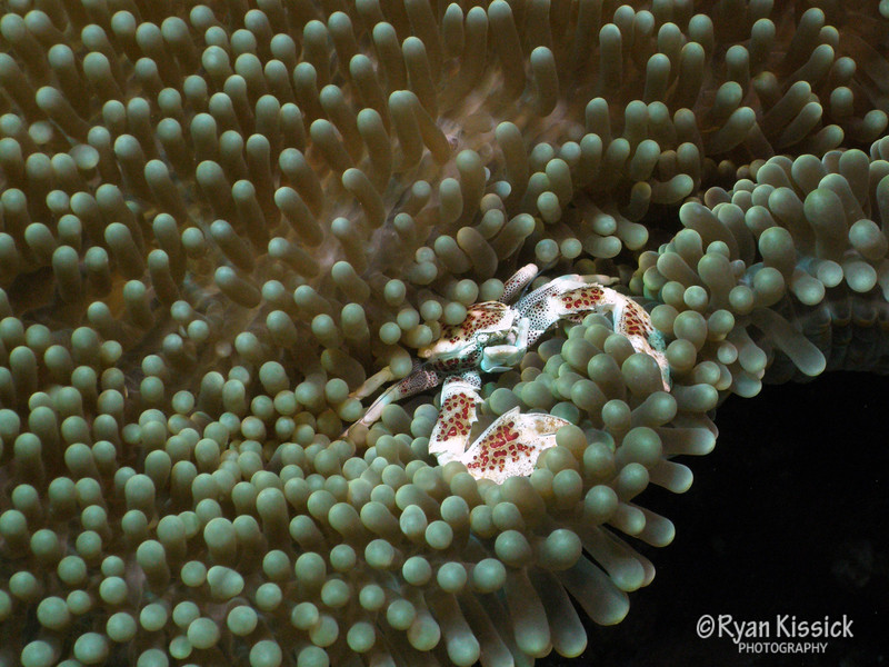 Small anemone crab nestled in its home