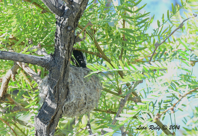 Black-tailed Gnatcatcher working on nest - 4/6/2014 - Agua Caliente County Park, San Diego