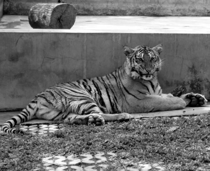 Large Tiger