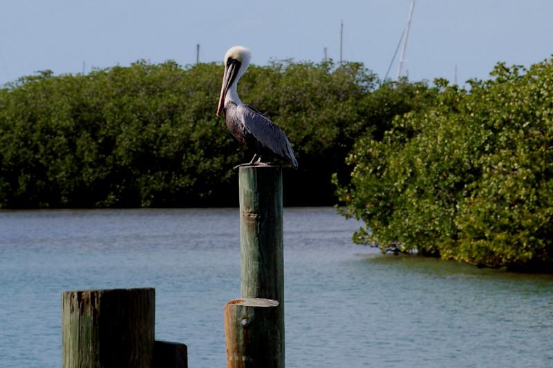 Pelican on Post.jpg