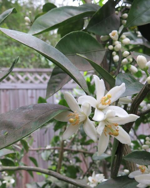satsuma tree.JPG