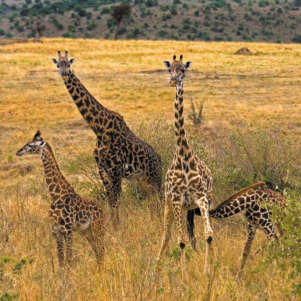 Giraffe Tower in Golden Grass
