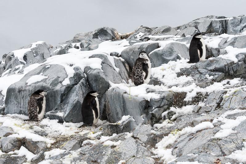 Penguins_Chinstrap_Hydrurga Rocks_Antarctica-1.jpg
