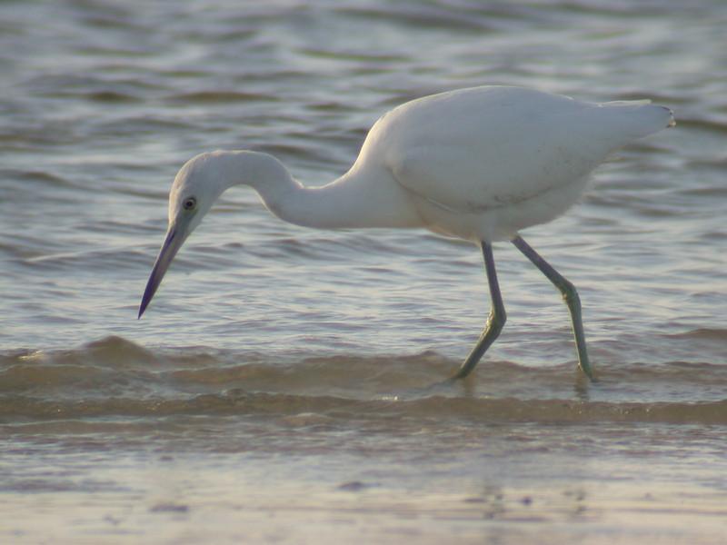 Heron - Little Blue - juvenile - Sanibel Island, FL