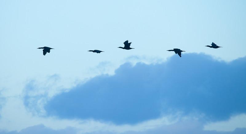 Flying cormorants in Parton.