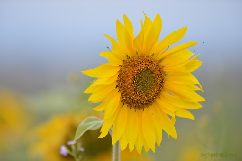 Sunflower Lonay_20092020 (45).JPG