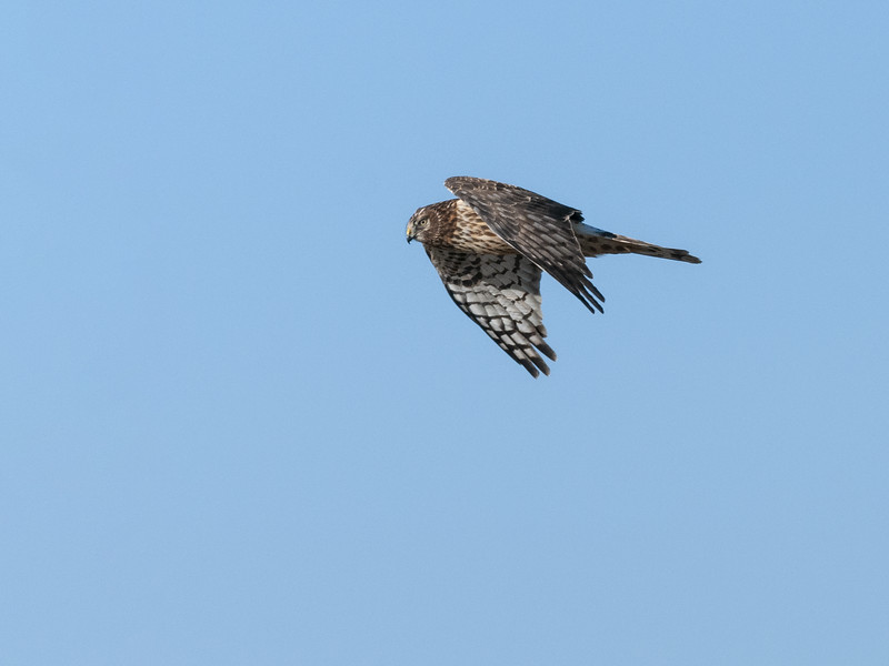 Northern Harrier in Flight.jpg