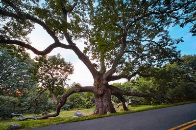 The Dewey-Granby Oak_Aug, 24, 2020