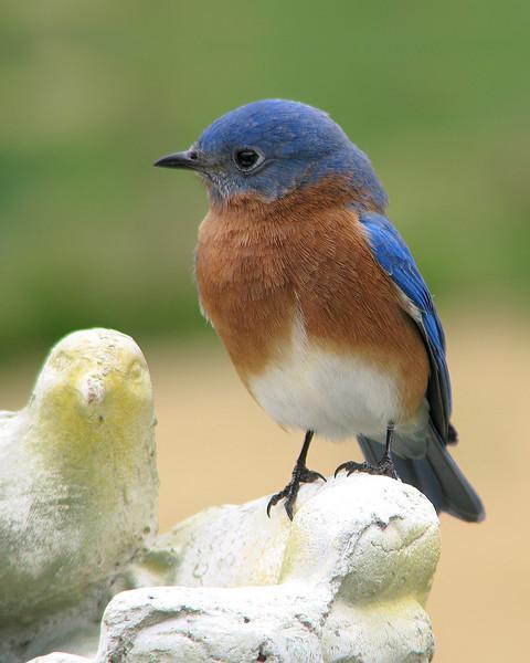 bluebird_3472.jpg