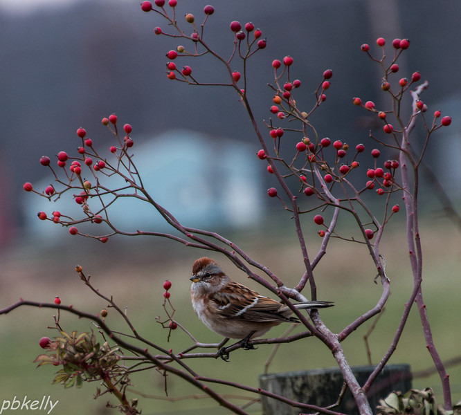 11-26.  American Tree Sparrow in the fence row.