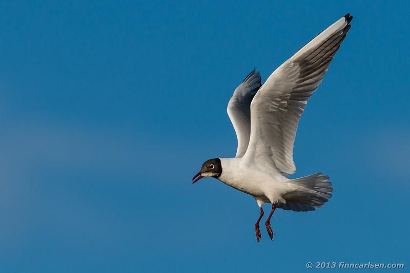 Hættemåge (Black-headed Gull - Larus ridibundus)