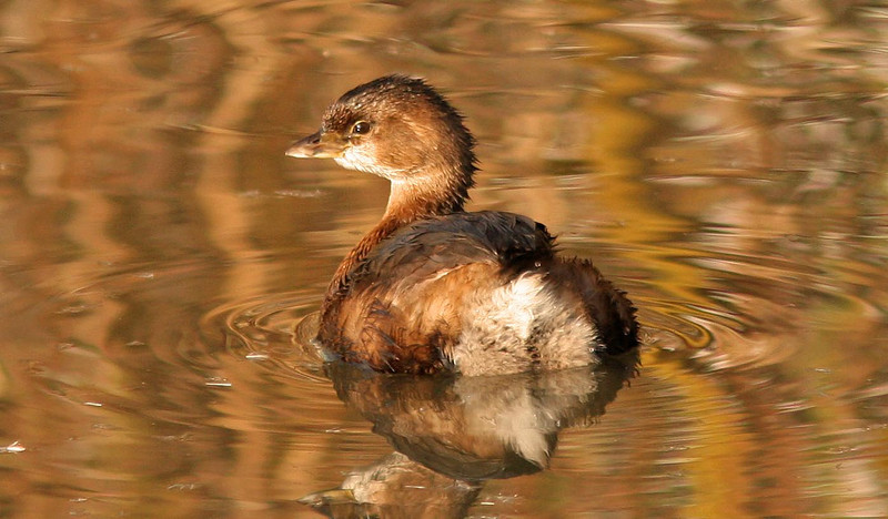 Pied Billed Grebe  (Contempo)