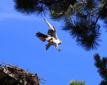 Osprey Seconsett Island, Mashpee, MA